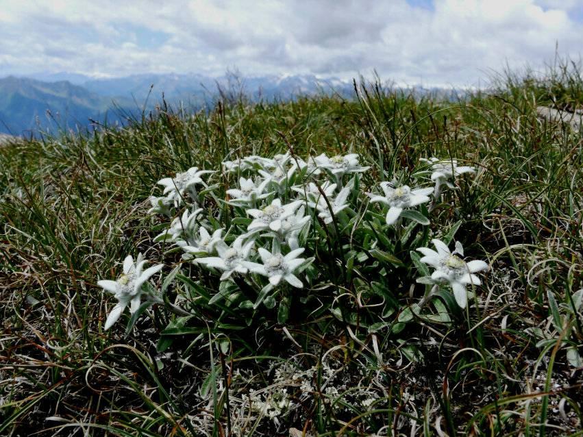 Картинки цветок эдельвейс 4