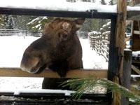 Горнолыжный курорт Химос, Финляндии - ферма лосей и оленят